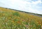 Wildflowers in Cedar Park at Brushy Creek Lake Park.