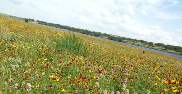 Wildflowers in Cedar Park at Brushy Creek Lake Park.