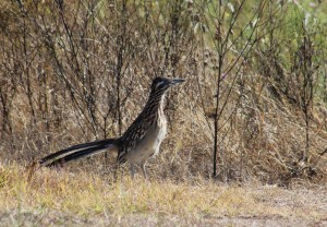 Texas Roadrunner spotted in Cedar Park at the Sculpture Garden