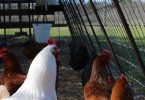 Cedar Park Chickens